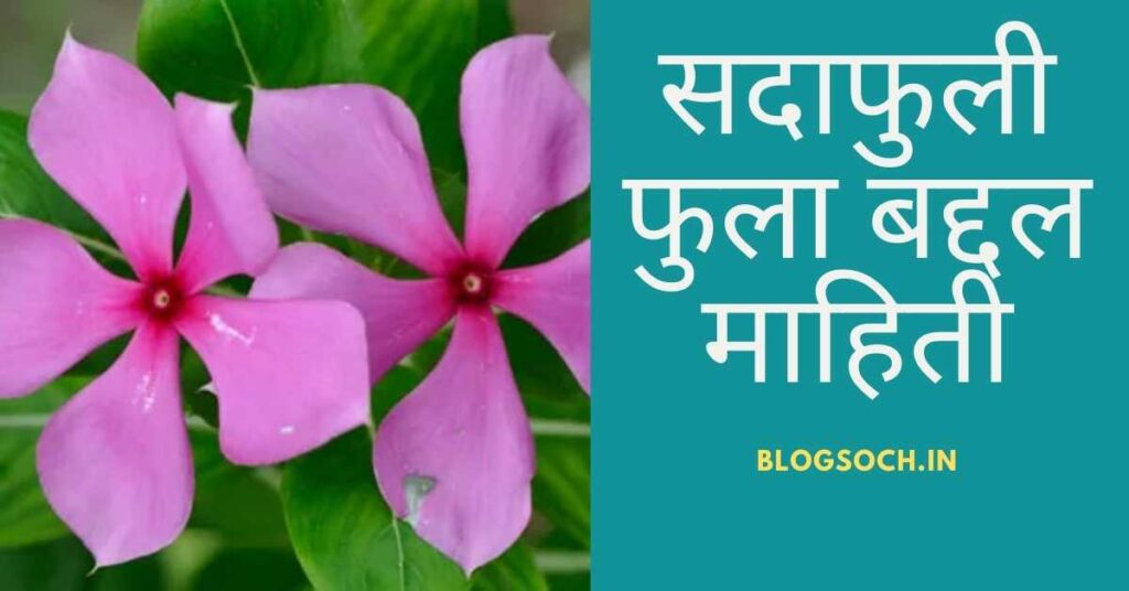 Sadaphuli Flower Information in Marathi