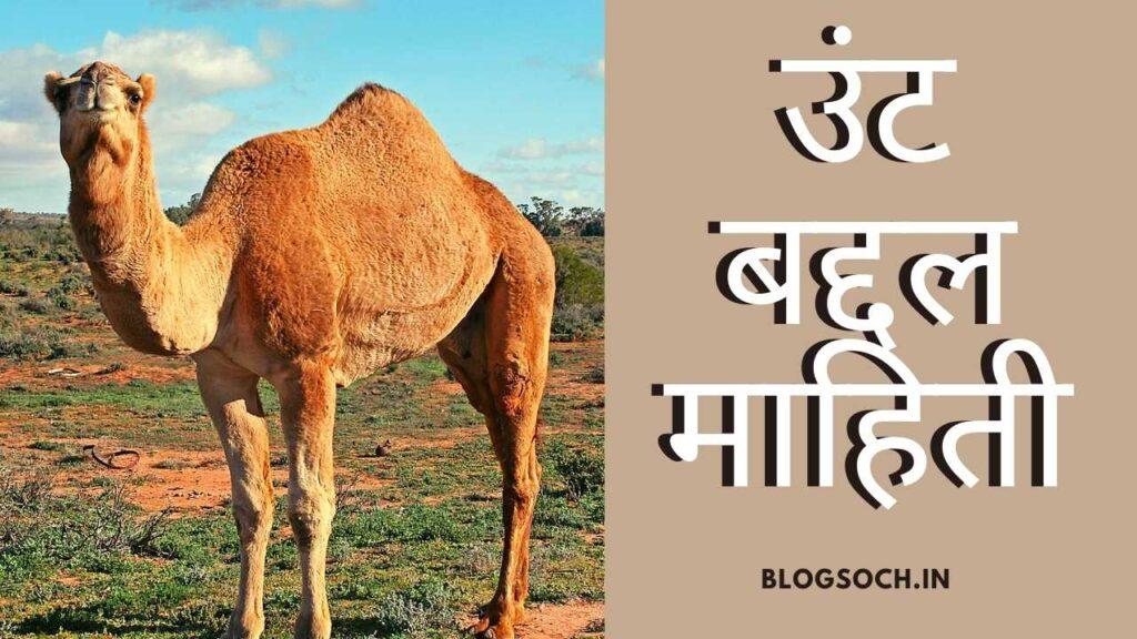 Camel Information in Marathi